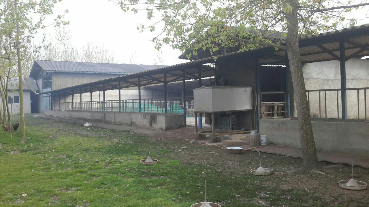 فروش گاوداری صنعتی 100 راسی در گیلان