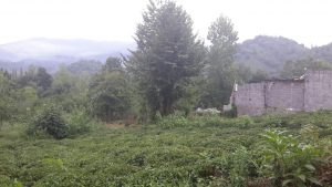فروش باغ 5 هزار متری لب آسفالت لاهیجان