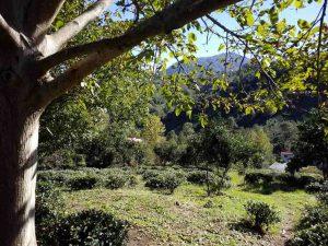 فروش زمین باغ چای مرکبات 3.5 هکتاری سنددار گیلان