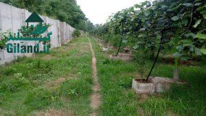 خرید مجموعه زمین باغ کیوی در گیلان
