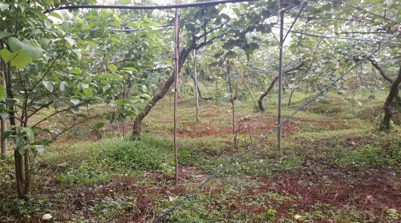 فروش باغ کیوی 2080 متری در رانکوه