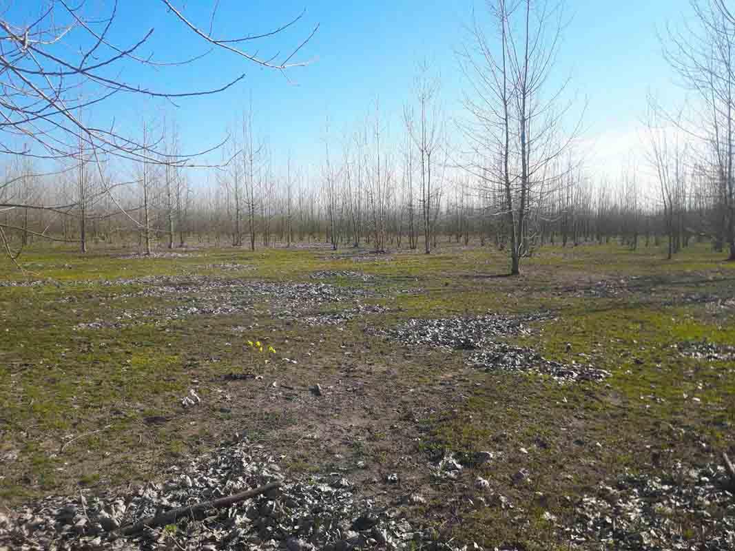 فروش زمین باغ صنوبر 80000 متری لشت نشاء
